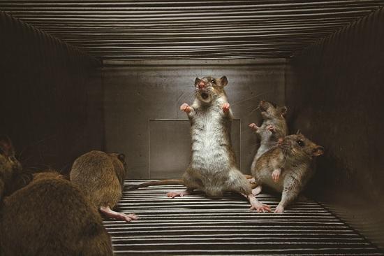 Rats-Vincent_J_Musi_POT