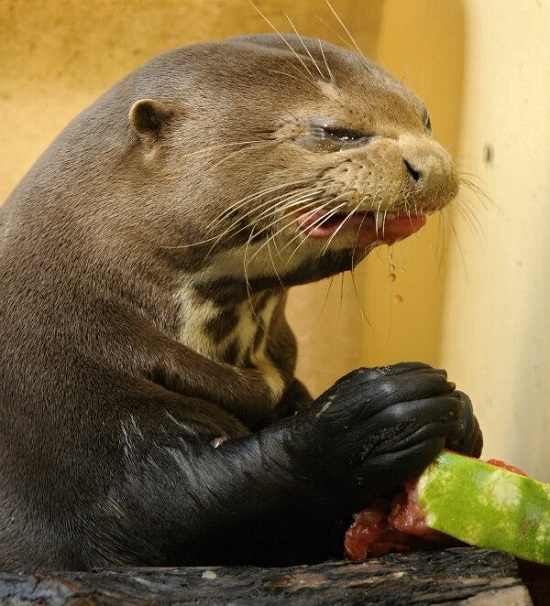 Evil-Otter-Eating-a-Watermelon-5