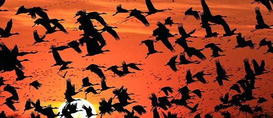 Cranes-flying963