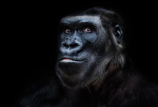 Gorilla-portrait