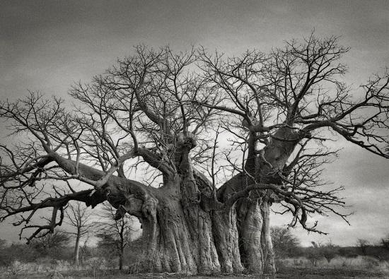 Bufflesdrift-Baobab
