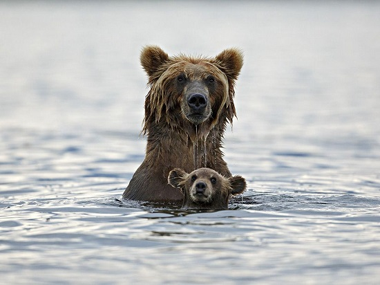 Bear-swimming-kamchatka