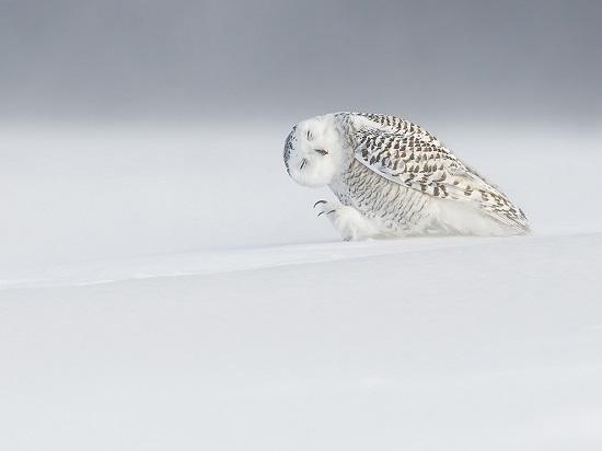Owl-snow-canada