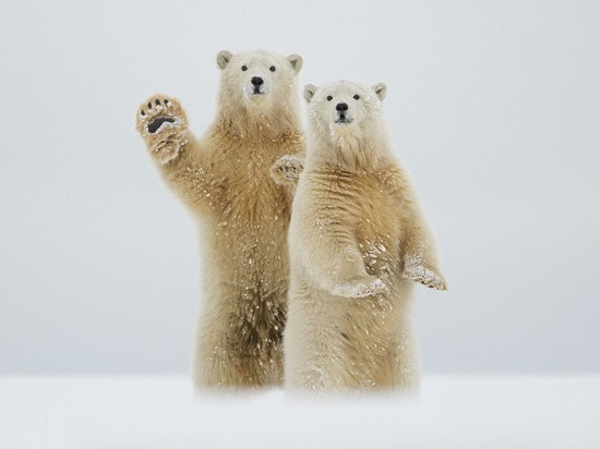 Polar-bears-waving