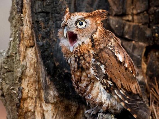 Carolina-screech-owl