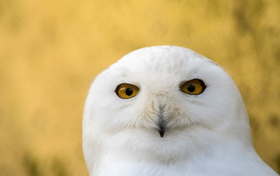 Snowy-owl2