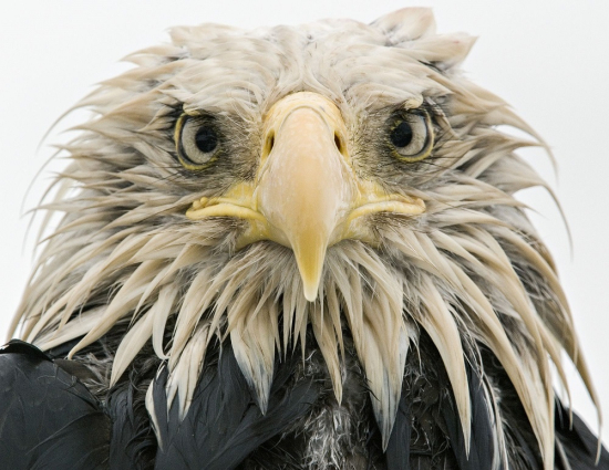 Wildlife-eagle