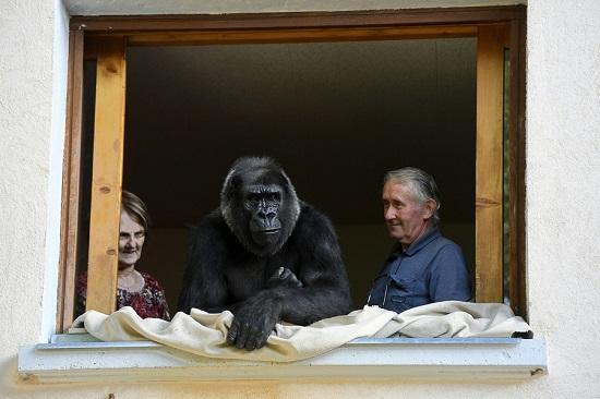 Gorilla-france