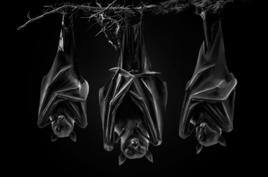 Flying-foxes