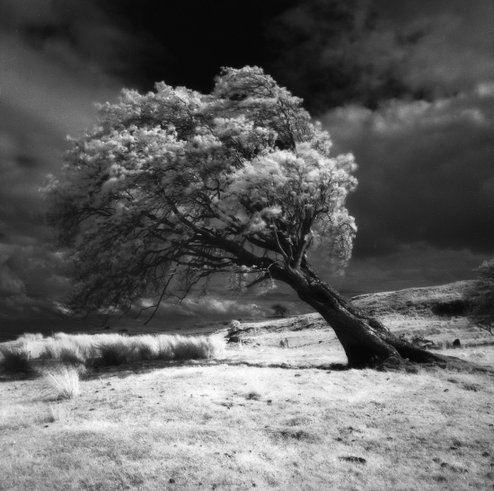 Prince-Stirlingshire+tree