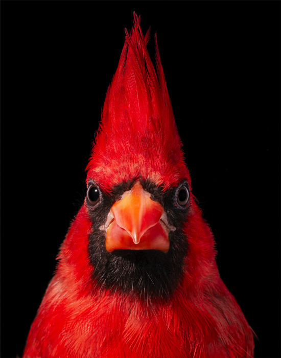Tim-flach-Virginia-Cardinal