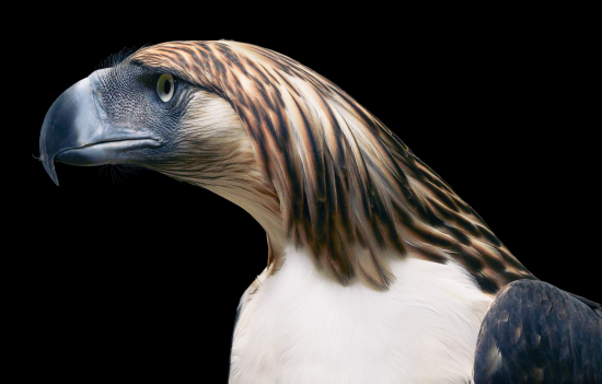 Tim-flach-Phillippines-Eagle-Side-On