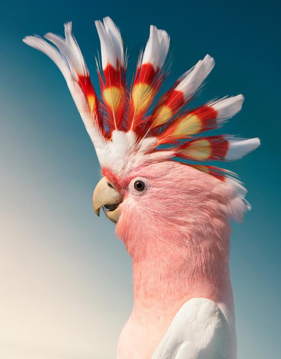Flach-cockatoo