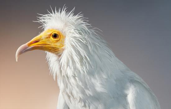 Flach-vulture