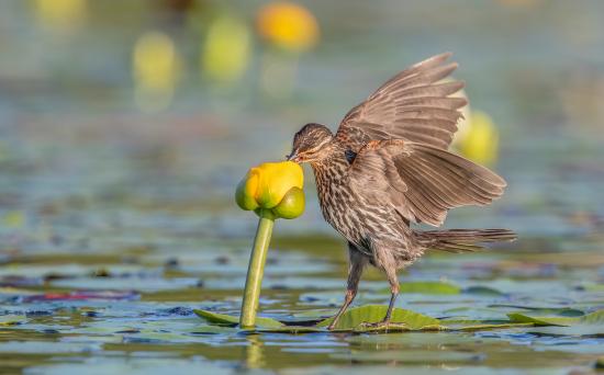 Audubon-4